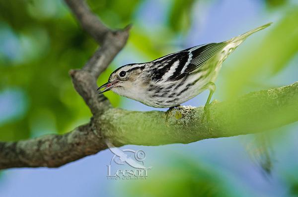 Black-and-white Warbler (Mniotilta varia)  rests near Lake Erie shoreline, spring migration, North America.
