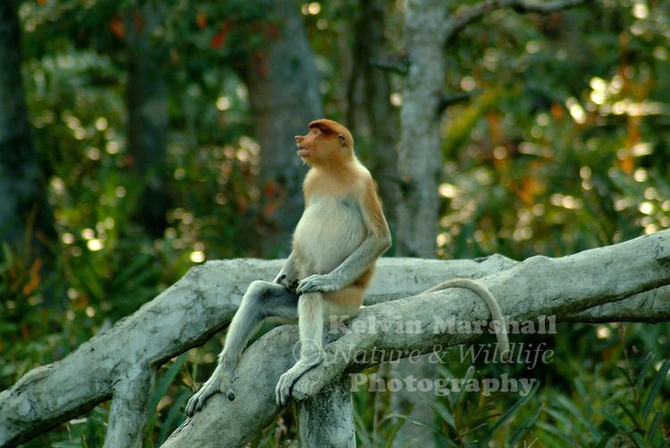 Proboscis Monkey (Borneo's big nose)