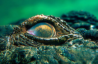 Eye of a saltwater crocodil