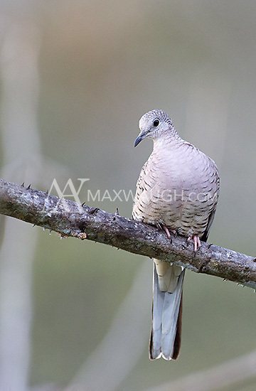 The Inca dove is one of many birds found at Cerro Lodge.