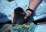 Rhinoceros auklet chick.