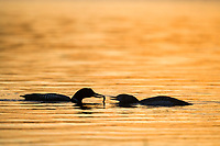 Yellow-billed loon swims in Toolik lake in Alaska's Arctic.