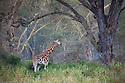 Kenya, Lake Nakuru National Park, Rothschild's giraffe in forest
