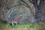 Kenya, Lake Nakuru National Park, Rothschild's giraffe in forest