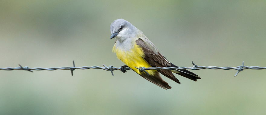 A Western Kingbird clings to a fence line in Jefferson County, Montana.