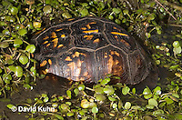 1003-0818  Male Eastern Box Turtle Partially Submerged in Water with Watercress - Terrapene carolina © David Kuhn/Dwight Kuhn Photography