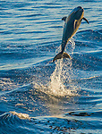 A long-beaked common dolphin leaps high above the deep waters of the Sea of Cortez as early morning light glints off its slick skin. Dolphins display amazing strength and agility, whether playing in the currents created by a passing boat or hunting for prey in concert with the school.