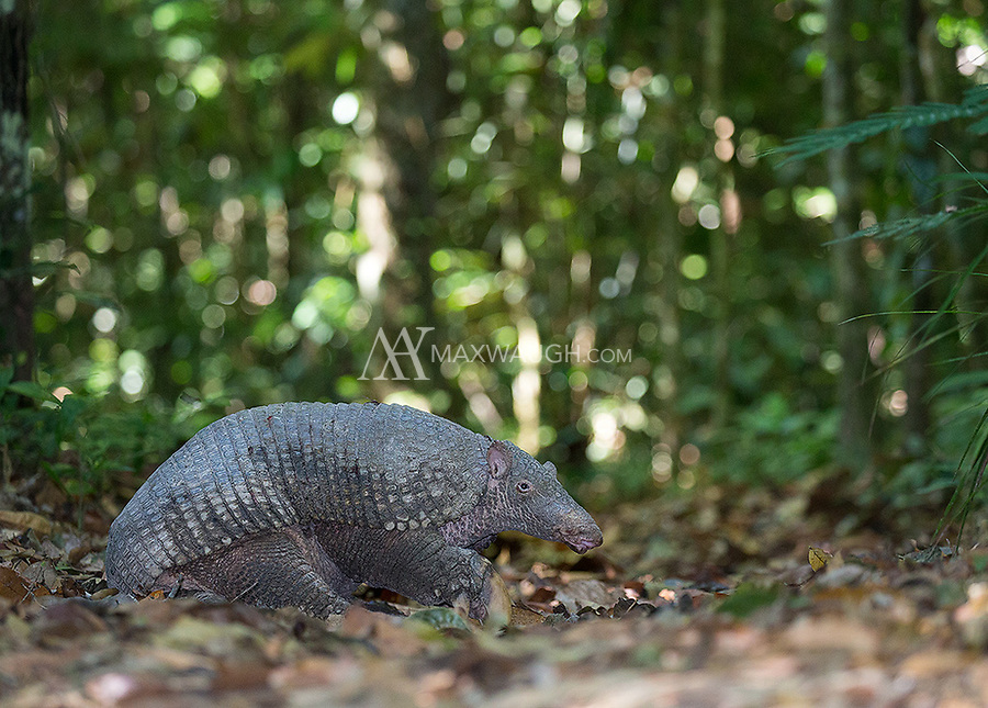 I took a number of shots of this ultra-elusive mammal with and without flash in order to ensure I could preserve the details in challenging rainforest lighting conditions.