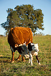 Cow No. 322 nudges her newborn calf taking its first steps, at the Stoney Creek Corrals of the Busi Ranch, Amador County, Calif.