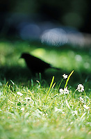 Black Bird in Golden Gate Park, San Francisco, California, USA<br />