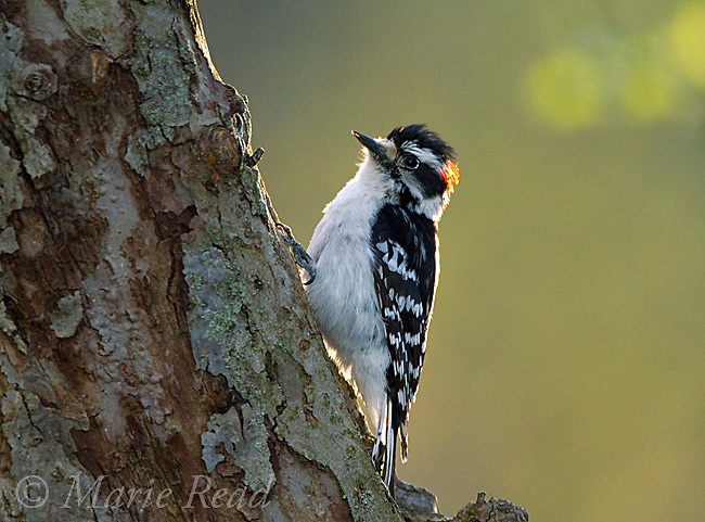Downy Woodpecker (Picoides pubescens) male on the treetrunk where it drums in spring, New York, USA