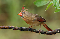 Female Northern Cardinal after a Spring rain.