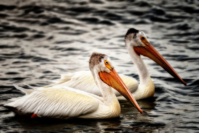 Two pelicans on the waters of Cherry Creek State Park, Colorado