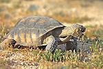 Desert Tortoise Eating