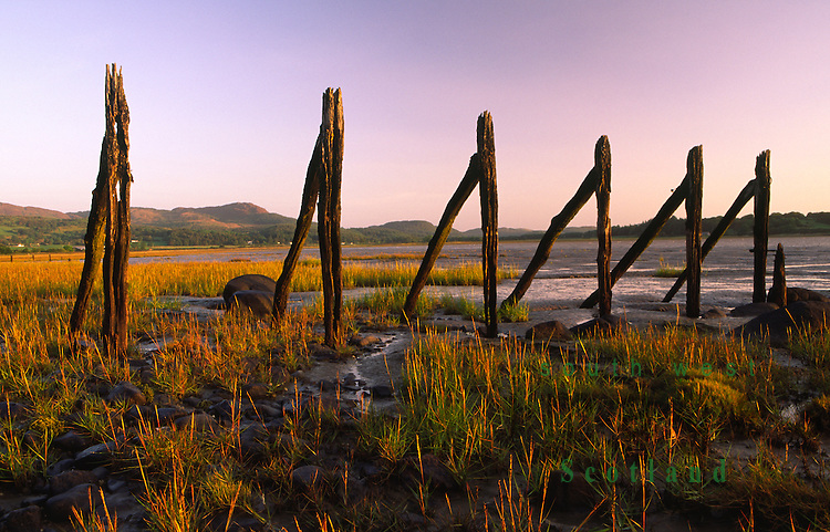 Early morning light on the remains of stake nets along the side of Auchencairn Bay on the Solway Firth coast looking up to Screel hill Dumfries and Galloway Scotland UK