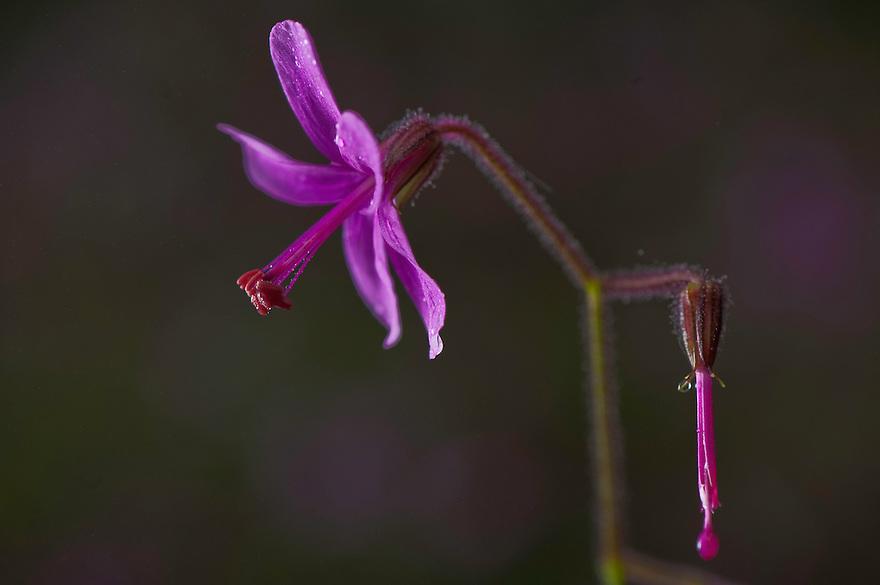 Geranium canariensis in Laurisilva forest, Garajonay National Park, La Gomera Island, Canary Islands, Spain.