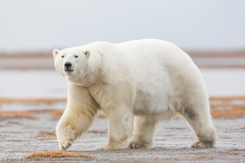 Polar bear along the shore of a barrier island in the Beaufort Sea, arctic Alaska.