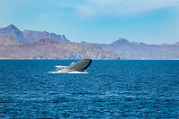 Blue whale (balaenoptera musculus) A breaching blue whale. Gulf of California., Baja California, Mexico, Pacific Ocean