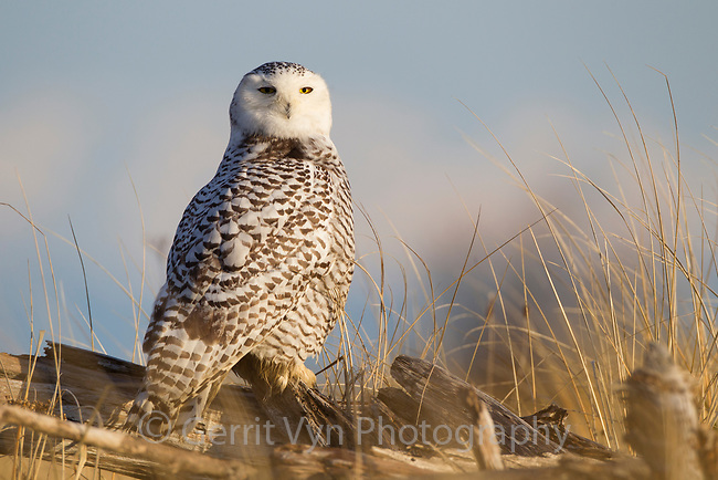 Snowy Owl (Bubo scandiacus) perched on coastal driftwood. Grays Harbor County, Washington. December.