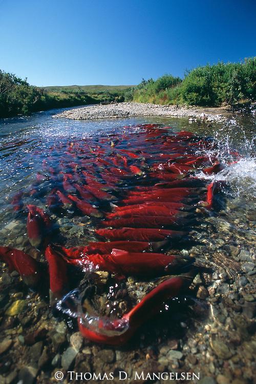 Sockeye salmon swimming in Funnel Creek on the Alaska Peninsula.