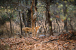 Tiger, Bandhavgarh National Park, India, Endangered