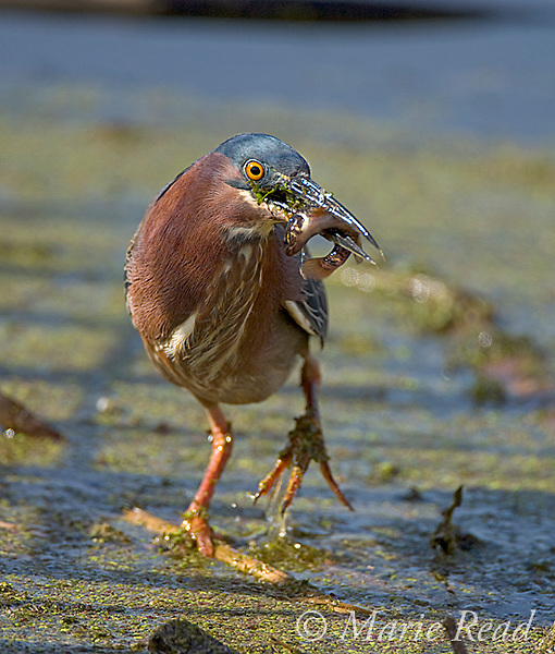 Green Heron (Butorides virescens) with a fish, Montezuma National Wildlife Refuge, New York, USA. Vertical crop.