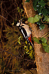 Great Spotted Woodpecker, Dendrocopus or Picoides major, juvenile, on tree trunk.