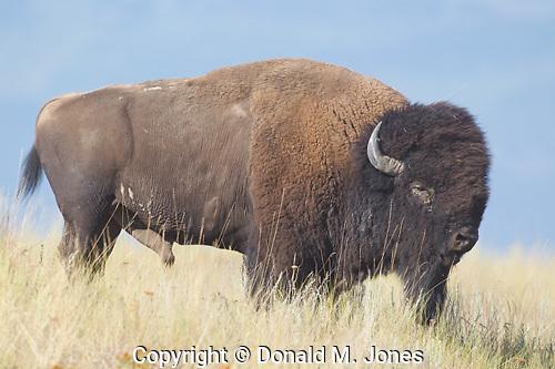 American Bison (Bison bison) National Bison Range, Moise Montana.