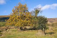 Oak tree, Dinkling Green, Whitewell, Clitheroe, Lancashire.