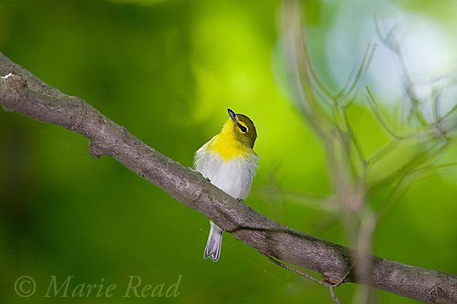 Yellow-throated Vireo (Vireo flavifrons), New York, USA