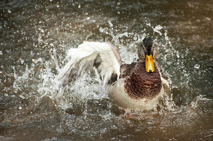 A young male mallard duck raises one wing in a splashing display.