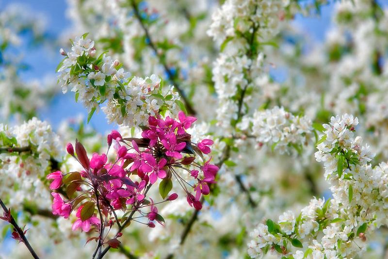 Cherry Blossoms. Hulda Klager Lilac Gardens, Woodland, Washington
