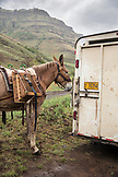 USA, Oregon, Joseph, mule waits to have his pack saddle taken off after a long days work in the rain, the canyon up Big Sheep Creek in Northeast Oregon