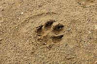 Dog Print - Canis lupus familiaris