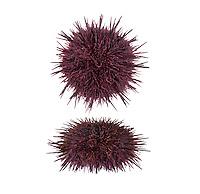 Purple Sea Urchin - Paracentrotus lividus