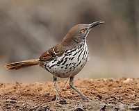 Long-billed Thrasher, Guttierrez Ranch, South Texas