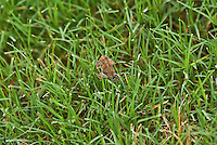 Frog in between blades of grass