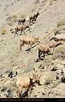 Bighorn Sheep, Females, Juveniles and Lamb, Gardner Canyon, North Entrance, Yellowstone National Park, Wyoming