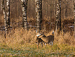 White-tailed fawns