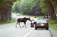 A moose crosses the highway in the White Mountains of New Hampshire as motorists stop to take photos and get a look.