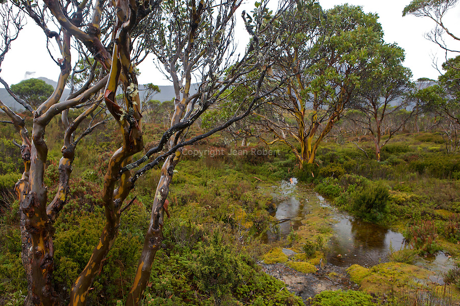 .Under the rain, eucalypt trunks (alpine yellow gum, eucalyptus subcrenulata) moisten into deeper greens, browns, greys and pinks....Ecorces mutlicolores d'eucalyptus, alpine yellow gum (eucalyptus subcrenulata).