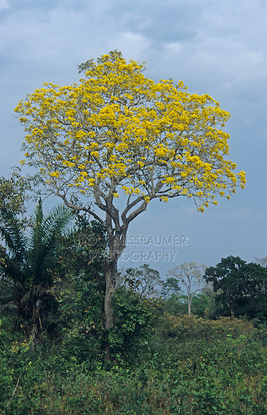 Gold Trumpet Tree (Tabebuia ochracea), in bloom, Pantanal, Brazil, South America
