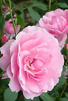 Rosa Bonica shrub rose additional 241 pink