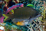 Chromis insolata, Sunshinefish, Cozumel, Mexico