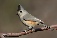 Black-crested Titmouse, well known for its 'perky' personality.