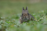 Eastern Cottontail (Sylvilagus floridanus), Hill Country, Texas, USA
