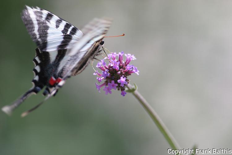 zebra swallowtail butterfly in flight