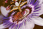 290-HO(CM) Apis mellifera, Honey Bee on Passiflora caerulea, Blue Crown Passionflower, at Los Angeles CA