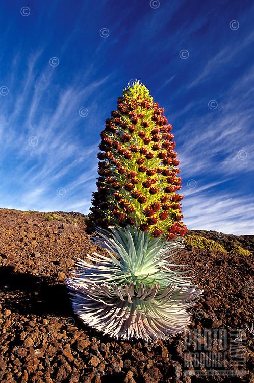 Silversword in full bloom at Haleakala Craterr, Maui.