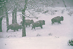 Bison walk up a hill in the falling snow in Grand Teton National Park, Wyoming.